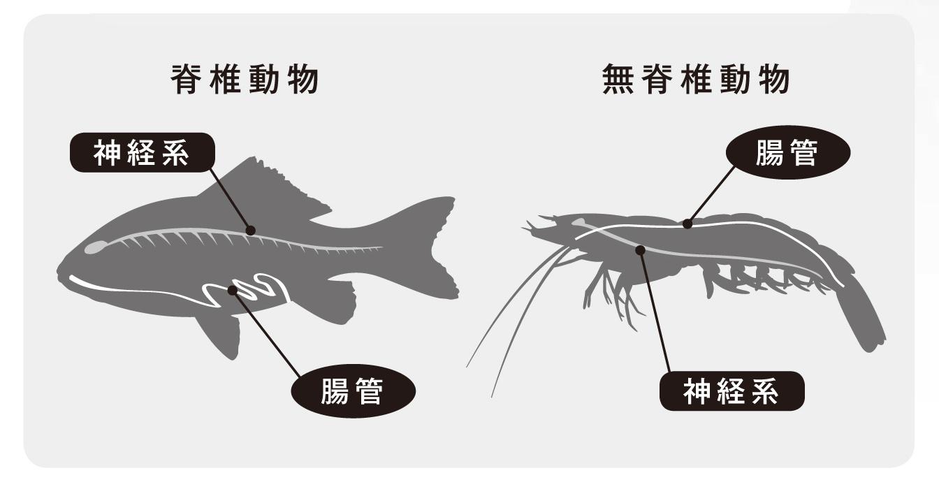 図6:動物の進化による胴体の背腹逆転